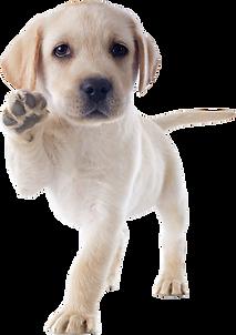 purebred puppy labrador retriever in a