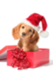 A dachshund puppy for Christmas!.jpg