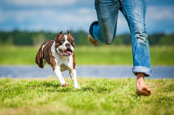 American staffordshire terrier running o