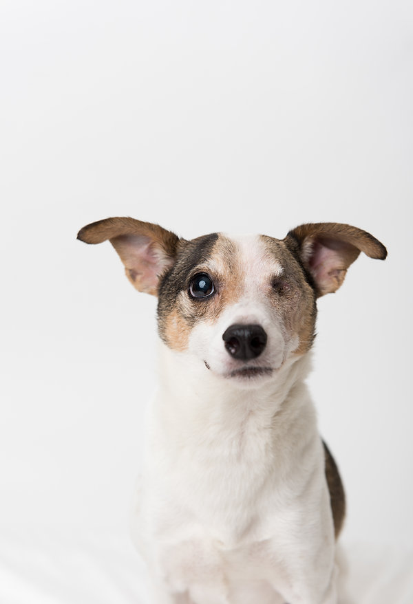 Close Up of Jack Russell Mix Dog Without
