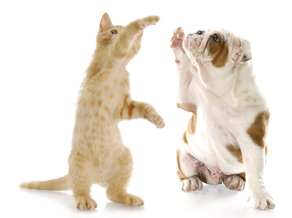 kitten standing up giving high five to e