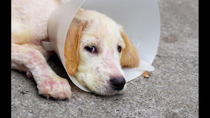 Sarna em cães: saiba como prevenir e como tratar