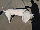 Guarda Municipal recolhe cão com sinais de maus trato na região do João Aranha