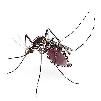 Vírus da febre amarela é detectado em novo tipo de mosquito