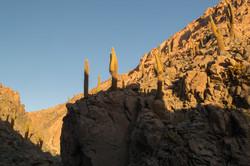 Cardones cactus