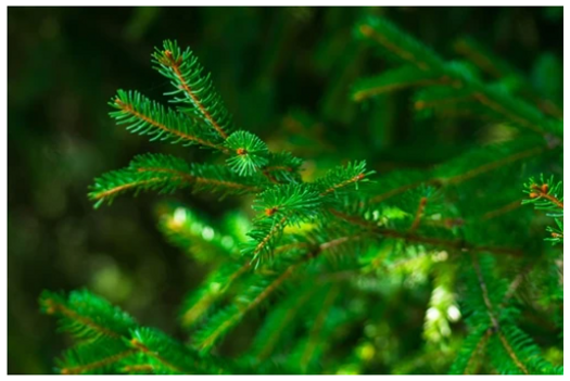 Spruce essential oil.PNG