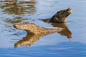 Zapata National Park, Krokodile