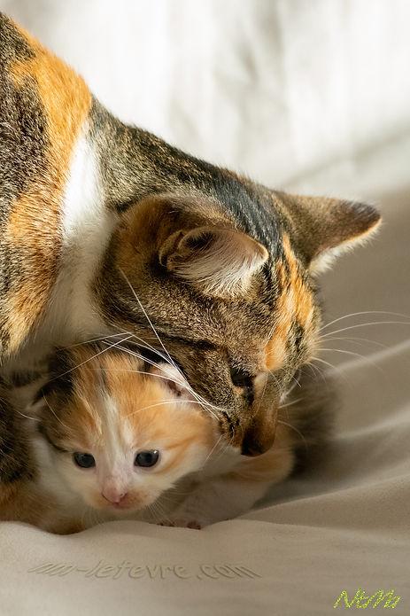 maman chat prend le chaton dans sa gueule