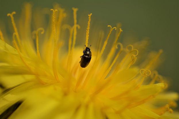 petit scarabé noir sur le pistil d'une fleur jaune