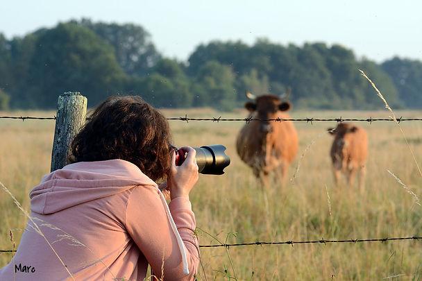 photographe qui prend des vaches en photo