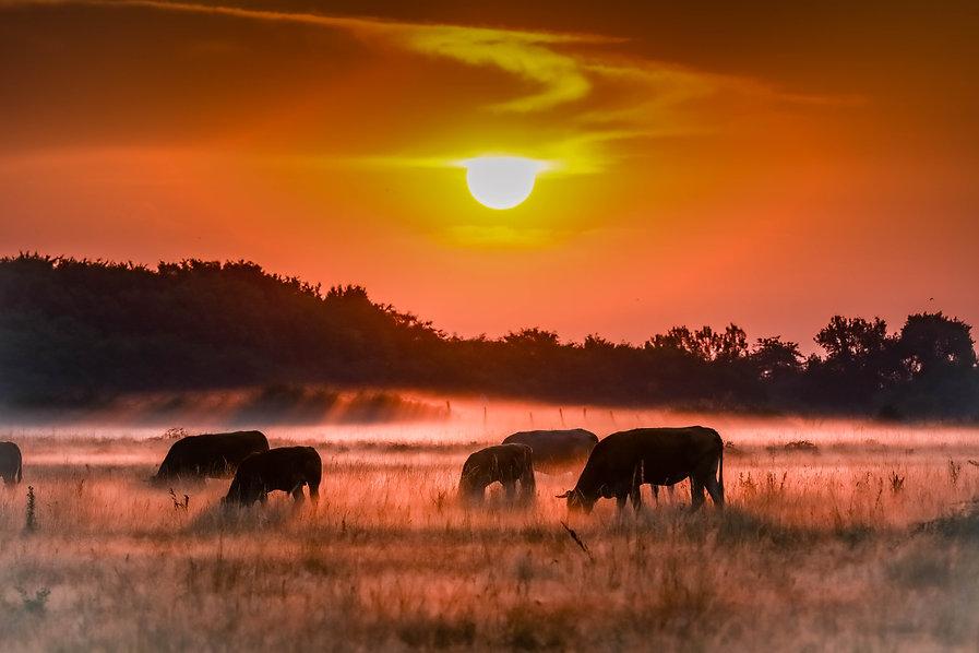 vaches dans un champs au lever du soleil