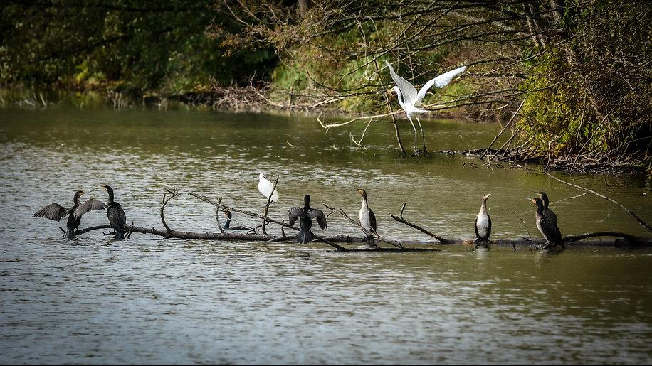 cormorans sur une branche