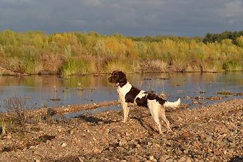 chien de chasse blanc et marron