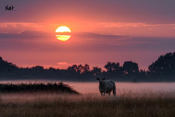 Les vaches au petit matin