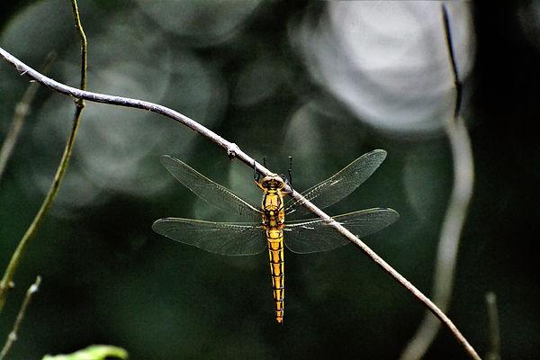 libellule (250).jpg