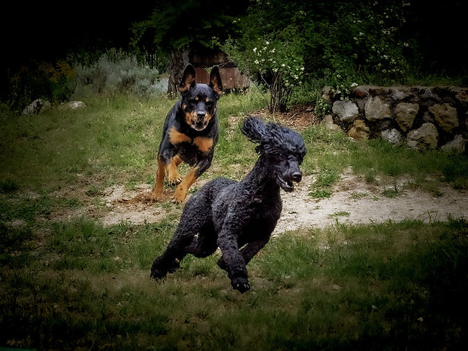 chien qui courent