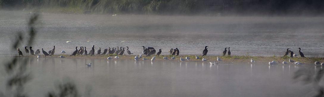 cormorans et mouettes sur la loire