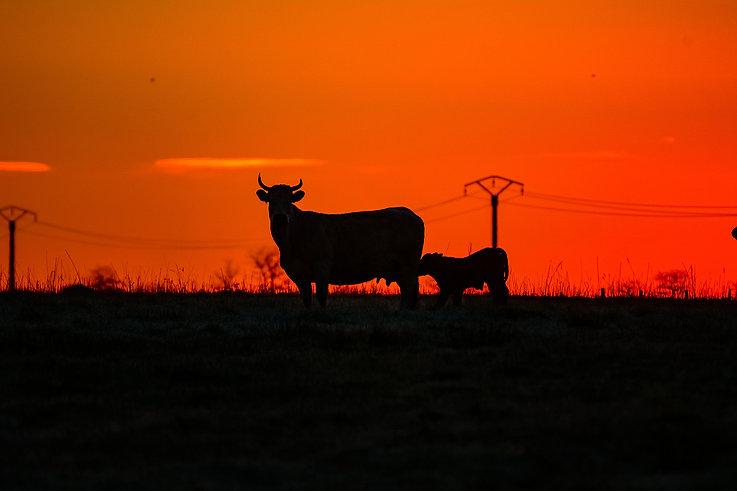 vache minimaliste.jpg