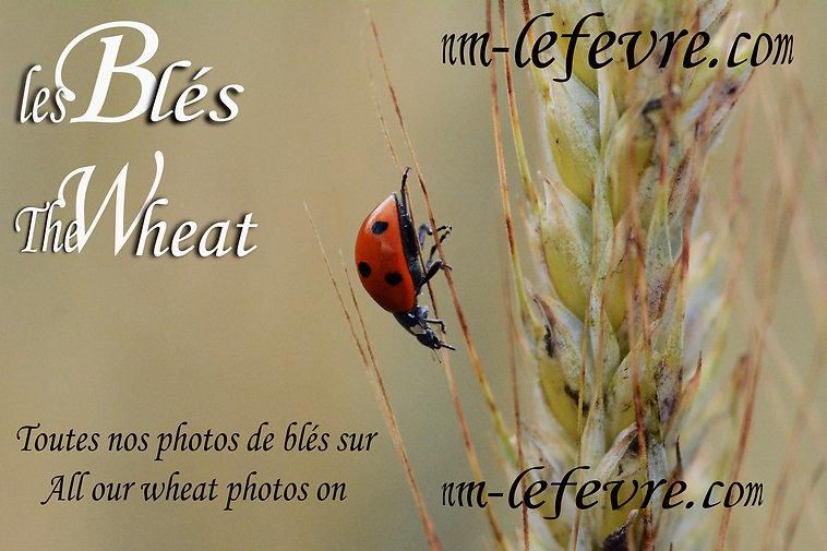 les_blés.jpg
