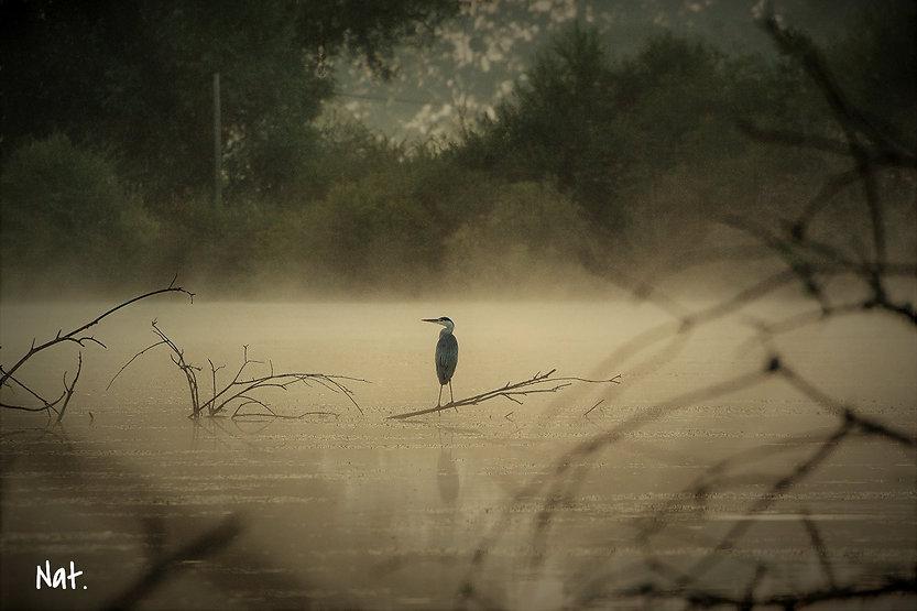 Héron cendré au milieu d'un étang