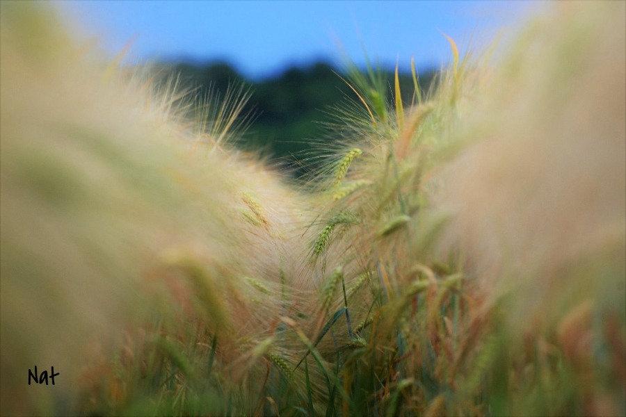 Sillon de blés
