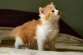 chaton blanc et roux
