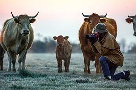 photographe avec des vaches