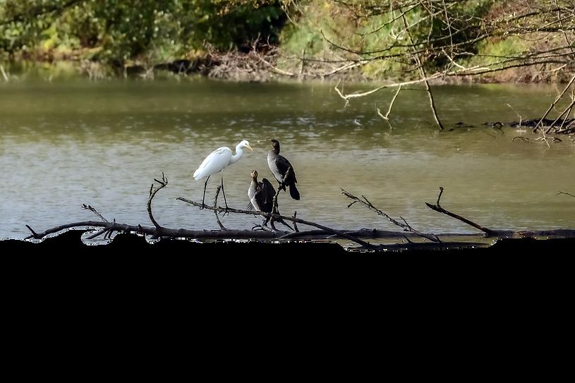Cormorans et  grande aigrette sur une branche