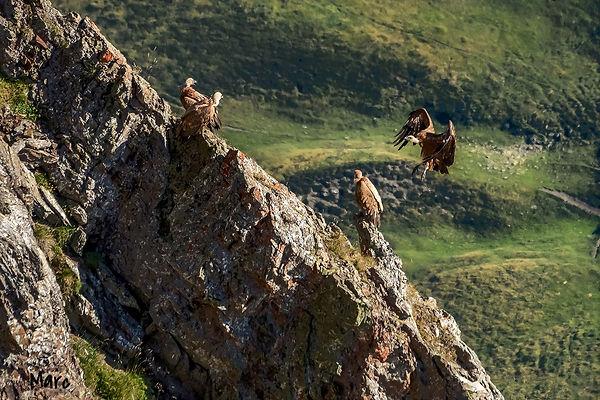 vautour (7)_edited.jpg