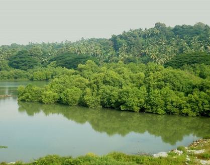 mangroves_thalasseri_ks.mini_wikimedia.jpg