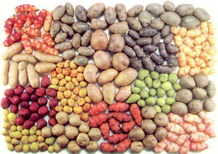 varieties-of-potatoes-in-the-Sacred-Valley