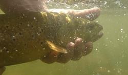 Truite release underwater