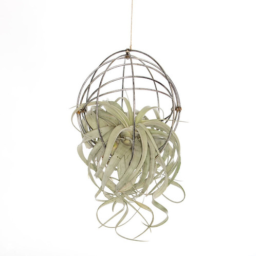 Hanging metal sphere with air plant the artizan way quality air hanging metal sphere with air plant aloadofball Images