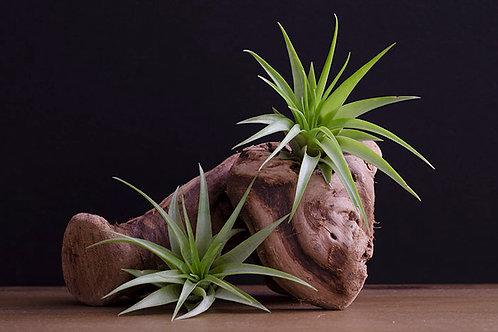 Tillandsia Brach Multiflora