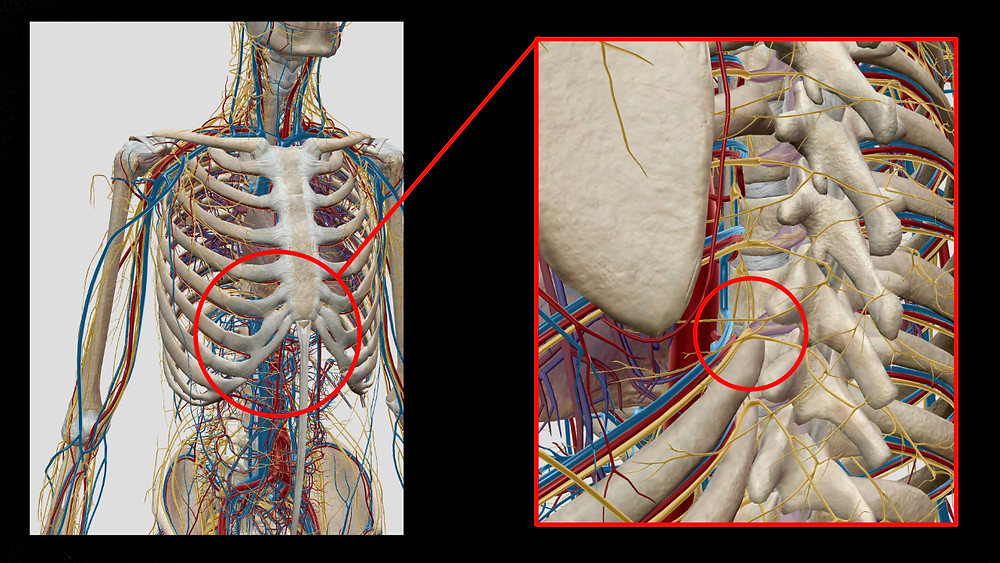Austretende Nerven aus den Wirbelzwischenräume und Blutgefäße an der Wirbelsäule