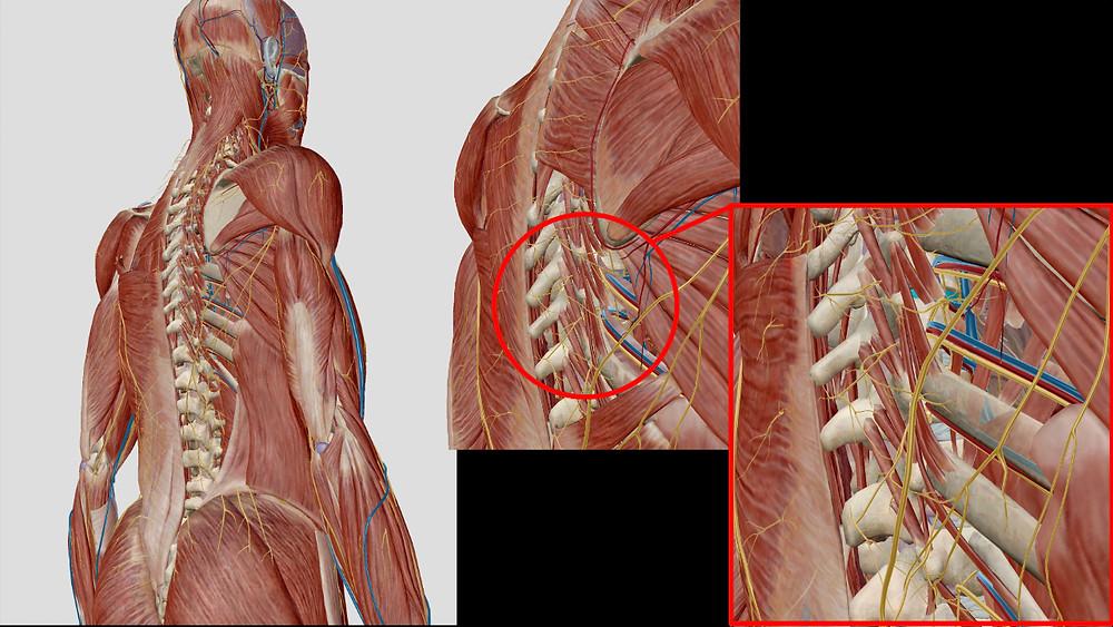 Zwischen Wirbelmuskulatur Nerven und Blutgfäße