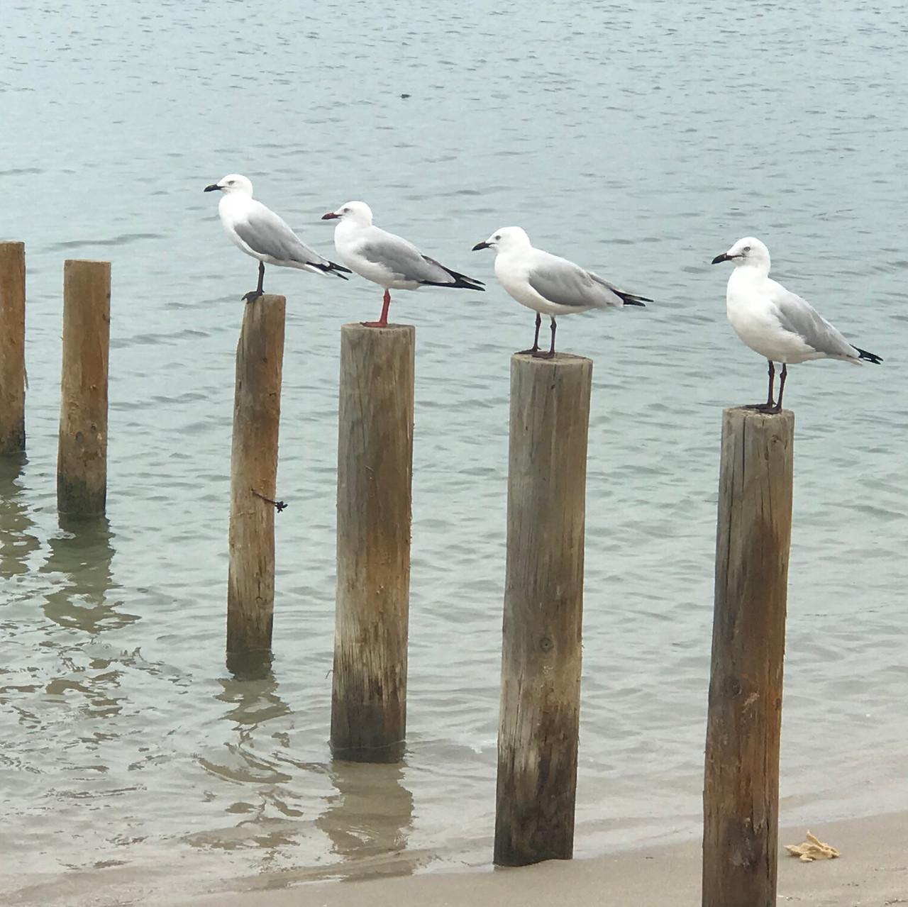 Murchison river gulls