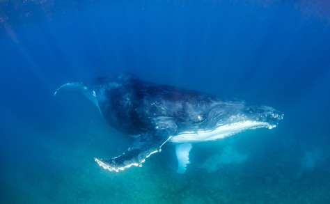 Swim with a Humpback - YES YOU!