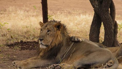 Jungle King taking rest