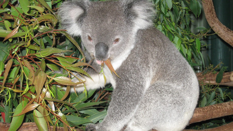 Koalas are one of the cutest and most cuddly
