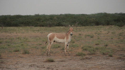 Wild ass in the Rann of Kutchh