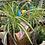 Thumbnail: Hanging spider plant