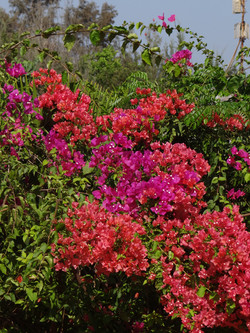 Superbes bougainvillers!