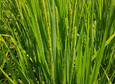 お米、成長しています