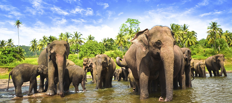Elephants at Minneriya National Park.jpg