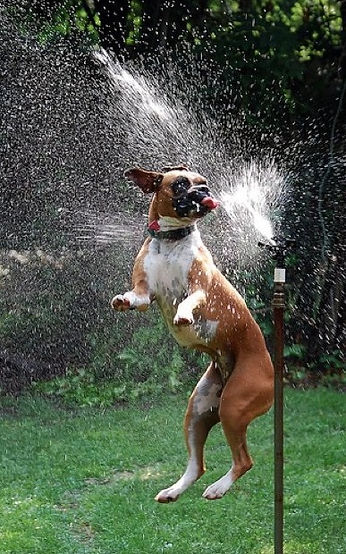 boxer-with-sprinkler.jpg