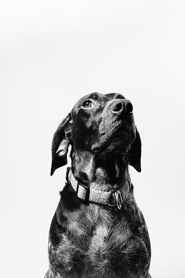 black and white dog on white background.