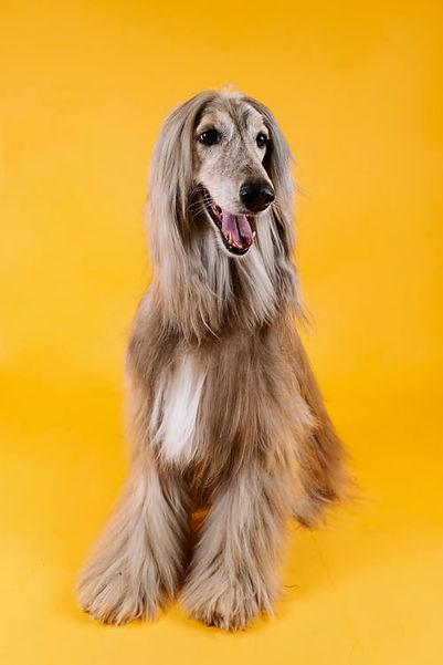 long haired dog.jpeg