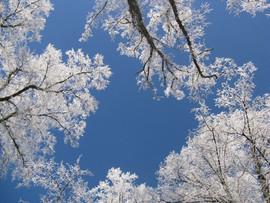 Winter Linden Trees