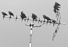 Starlings Not Aerial